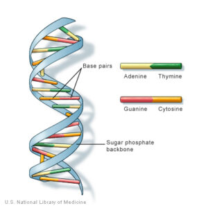 figure 2; Human DNA double helix structure with base pairs
