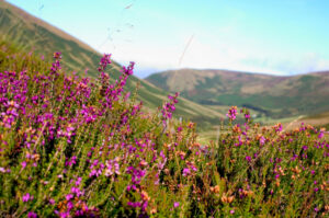 Scottish Heather in the Highlands
